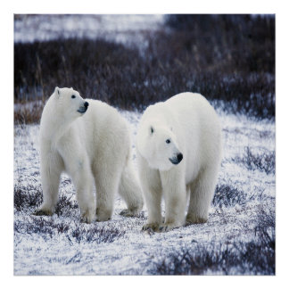 Polar Bear Love Poster