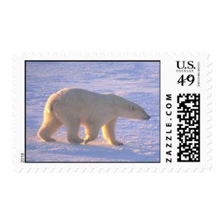 Polar Bear Morn Postage Postage Stamp