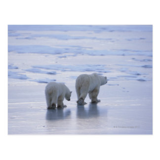 Polar Bear Mother and Cub Postcard