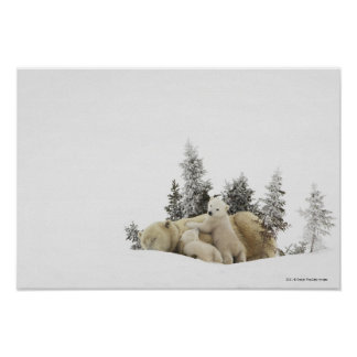 Polar Bear Mother And Her Cubs in Wapusk Park Poster
