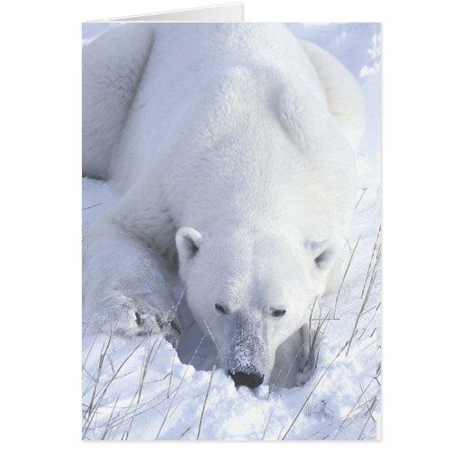 Polar Bear Nap Card