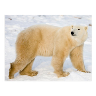 Polar Bear near Hudson Bay 2 Postcard