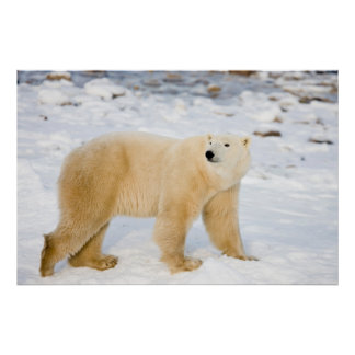 Polar Bear near Hudson Bay 2 Poster