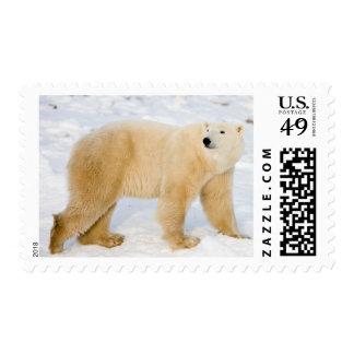 Polar Bear near Hudson Bay 2 Stamp