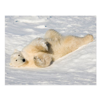 Polar Bear near Hudson Bay Postcard