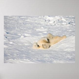 Polar Bear near Hudson Bay Posters