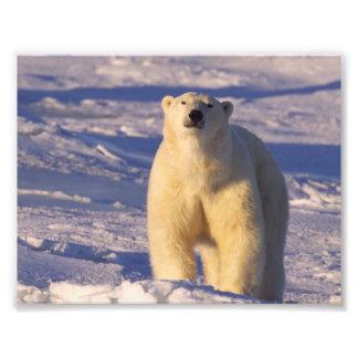Polar Bear on Hudson Bay in Canada Photo Print