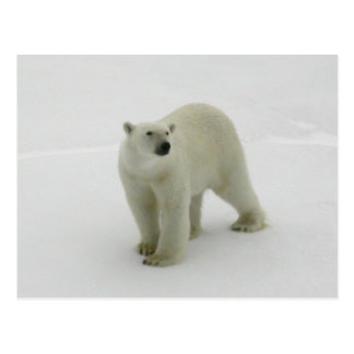 Polar Bear on the Arctic ice Postcard