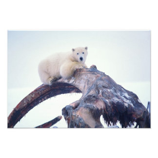 Polar bear on top of a bowhead whale jaw bone, photo print