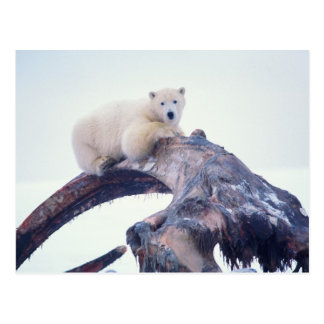 Polar bear on top of a bowhead whale jaw bone, postcard