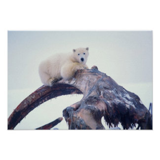 Polar bear on top of a bowhead whale jaw bone, poster