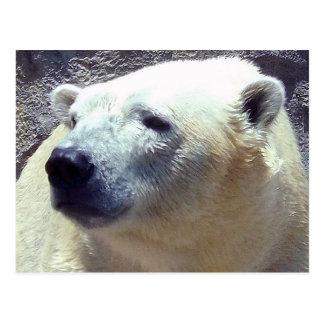 Polar Bear Photo Closeup Nikita Kansas City Zoo Postcard
