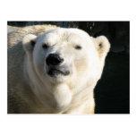 Polar Bear Post Card