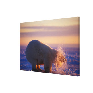 Polar bear pulling its head out of a hole in the canvas print