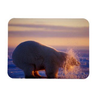 Polar bear pulling its head out of a hole in the magnet