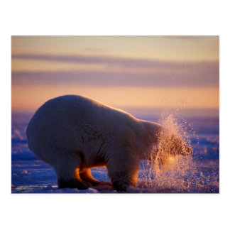 Polar bear pulling its head out of a hole in the postcard