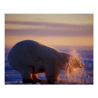 Polar bear pulling its head out of a hole in the poster