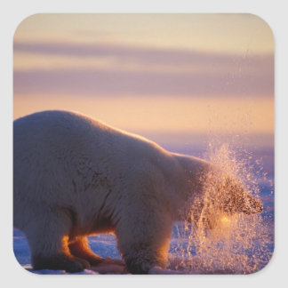 Polar bear pulling its head out of a hole in the square sticker