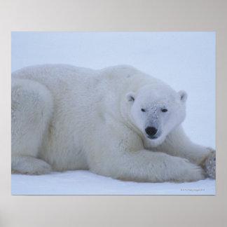 Polar Bear Resting in Snow Poster