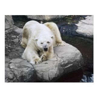 Polar Bear Resting on Rocks Postcard