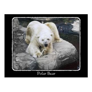 Polar Bear Resting on Rocks with border Postcard