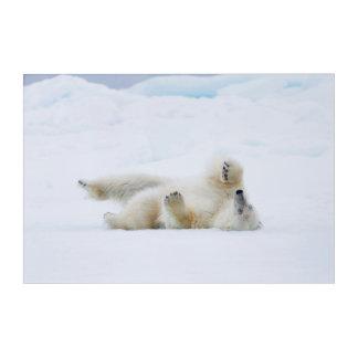 Polar bear rolling in snow, Norway Acrylic Print