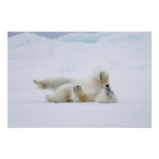Polar bear rolling in snow, Norway Poster