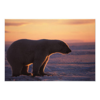 Polar bear silhouette, sunrise, pack ice of art photo