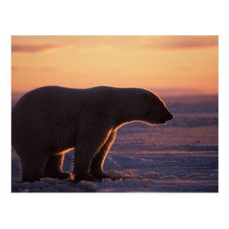 Polar bear silhouette, sunrise, pack ice of postcard