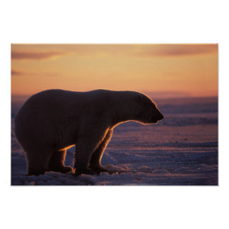Polar bear silhouette, sunrise, pack ice of poster