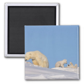 Polar bear sow feeding on grass to get her 2 inch square magnet