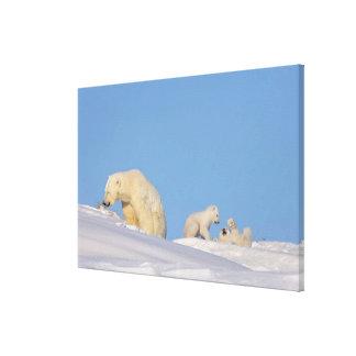 Polar bear sow feeding on grass to get her canvas print