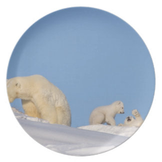 Polar bear sow feeding on grass to get her dinner plate