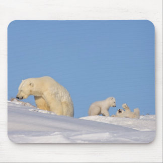 Polar bear sow feeding on grass to get her mouse pad