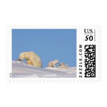 Polar bear sow feeding on grass to get her postage