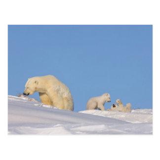 Polar bear sow feeding on grass to get her postcards
