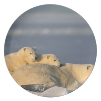 Polar bear sow lying down with spring cubs on dinner plate