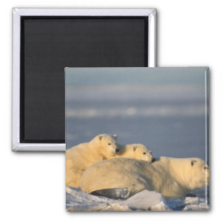 Polar bear sow lying down with spring cubs on magnet