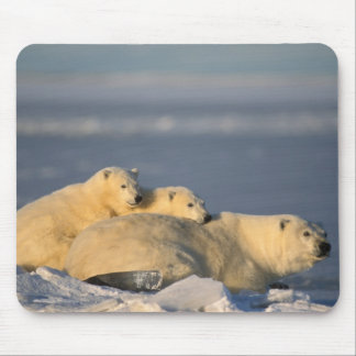 Polar bear sow lying down with spring cubs on mouse pad