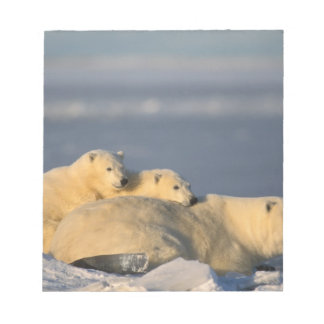 Polar bear sow lying down with spring cubs on notepad