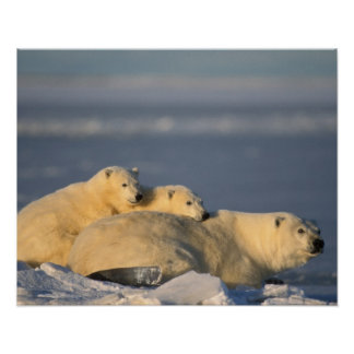 Polar bear sow lying down with spring cubs on poster