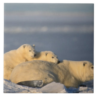 Polar bear sow lying down with spring cubs on tile