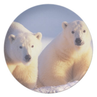 Polar bear sow with cub on pack ice of 1002 dinner plate