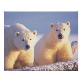 Polar bear sow with cub on pack ice of 1002 poster