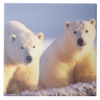 Polar bear sow with cub on pack ice of 1002 tile