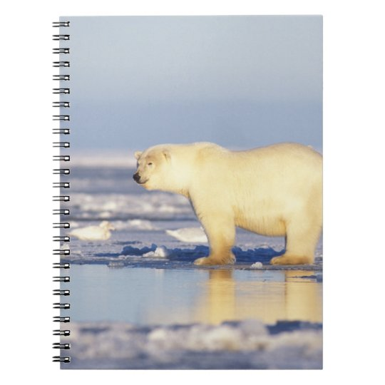 Polar bear sow with cub, pack ice, coastal notebook