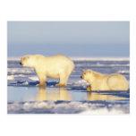 Polar bear sow with cub, pack ice, coastal postcard