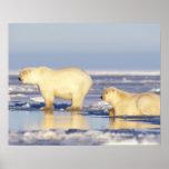 Polar bear sow with cub, pack ice, coastal poster