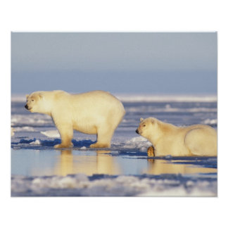 Polar bear sow with cub, pack ice, coastal poster