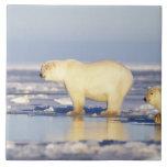 Polar bear sow with cub, pack ice, coastal tile